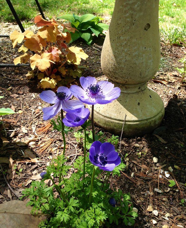 Anemone coronaria 'Blue Poppy'