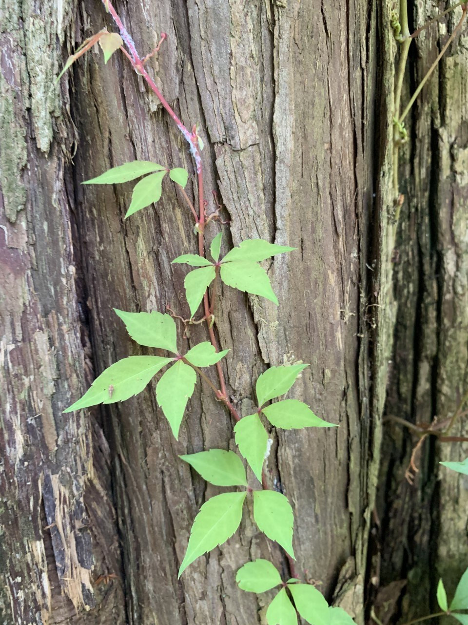 Young vine of Virginia Creeper, Parthenocissus quinquefolia. Think the the Latin name is long? Wait till you have the vines run in your garden for miles. But Virginia creeper as a ground cover is any day better than Poison Ivy, which it often gets confused with.