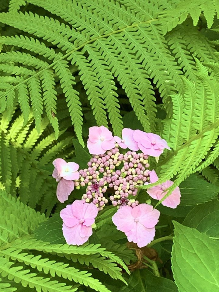 Hydrangea and Ostrich Fern, good companions for a deep shade woodland garden