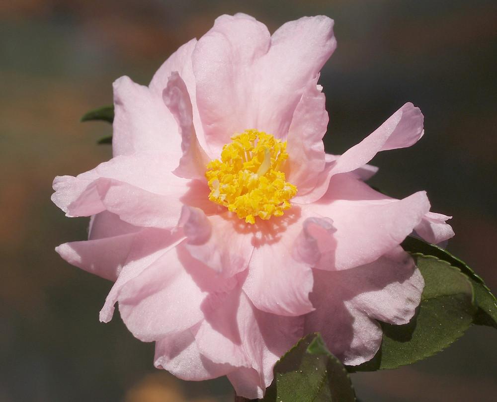 Camellia 'Winter's Peony' (C. oleifera 'Plain Jane' x C. sasanqua 'Narumi-gata' x C. hiemalis 'Shishi-gashira') (Picture courtesy, Dinny White)