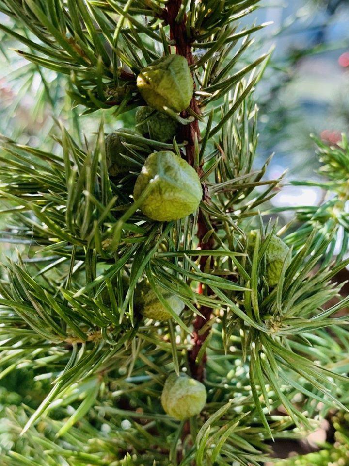 Juniperus horizontalis 'creeping Juniper'