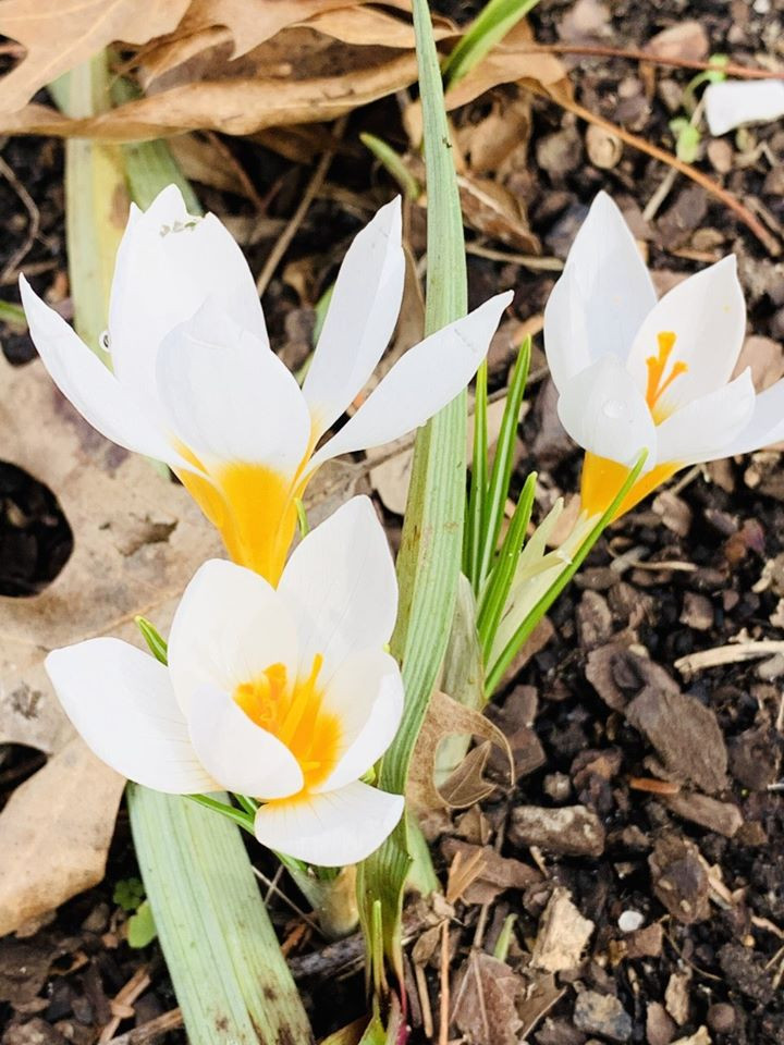 Spring crocus sps.