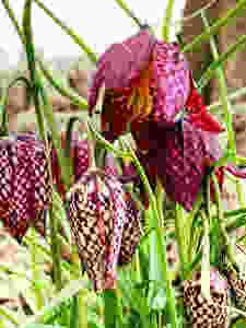 'Snake's head', Fritillaria meleagris