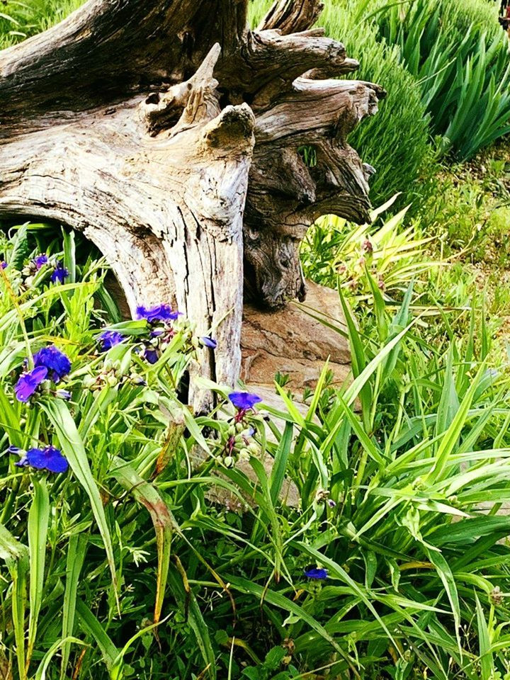 Spiderwort and Driftwood