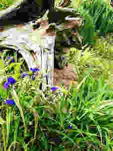 Spiderwort and Driftwood