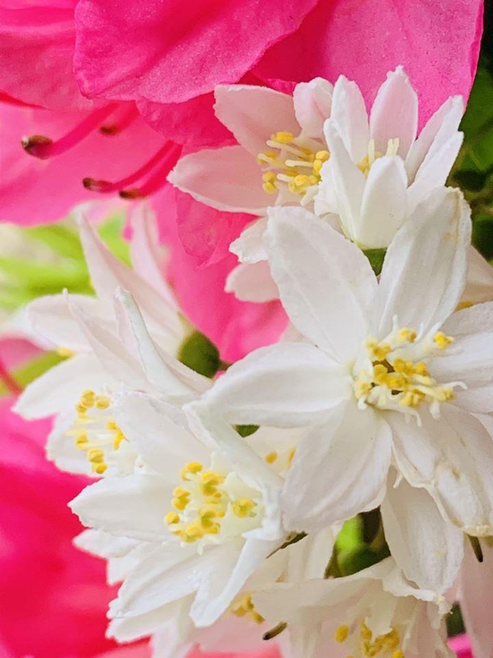 Close up of White Deutzia flowers