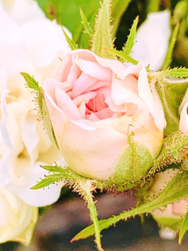 Rosa x damascena