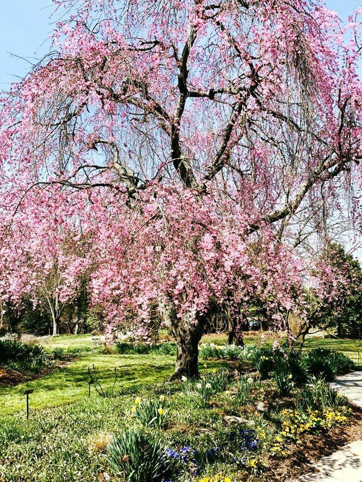 Cherry tree in Ornamental gardens