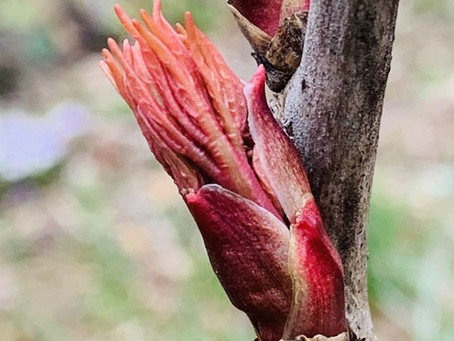 Botanist's Lens: Buds of hope!