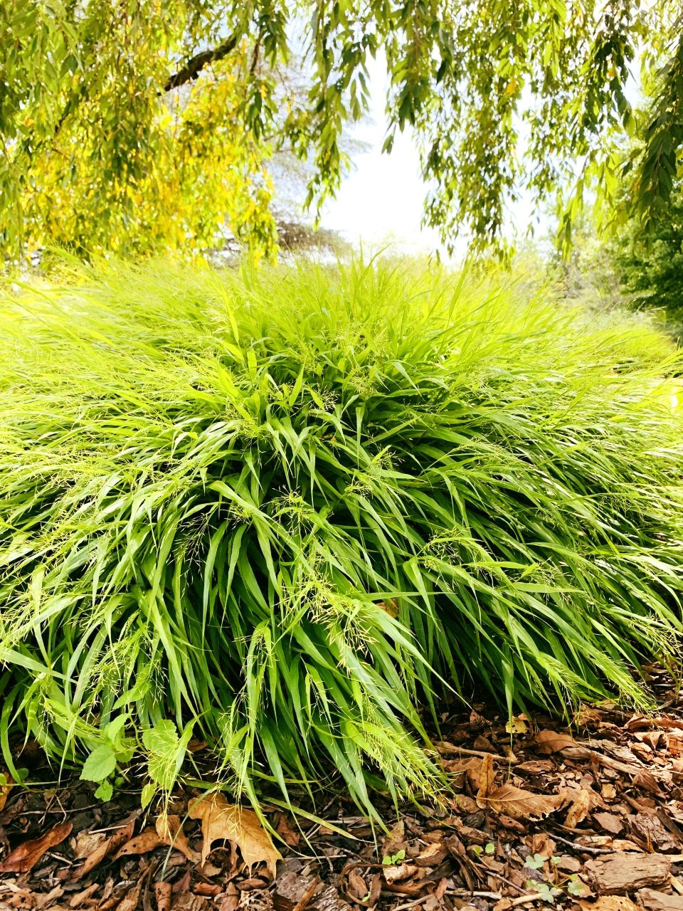 Hakonechloa macra 'Aureola' in dappled shade. https://plants.ces.ncsu.edu/plants/hakonechloa-macra-aureola/