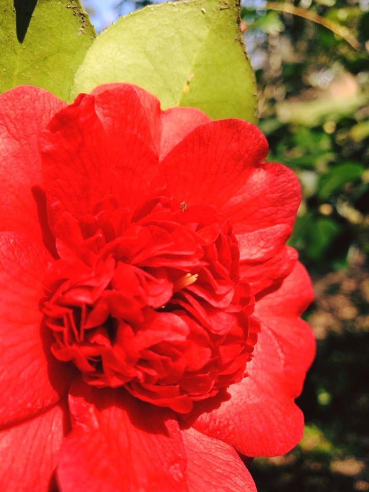 Camellia 'Firefall'