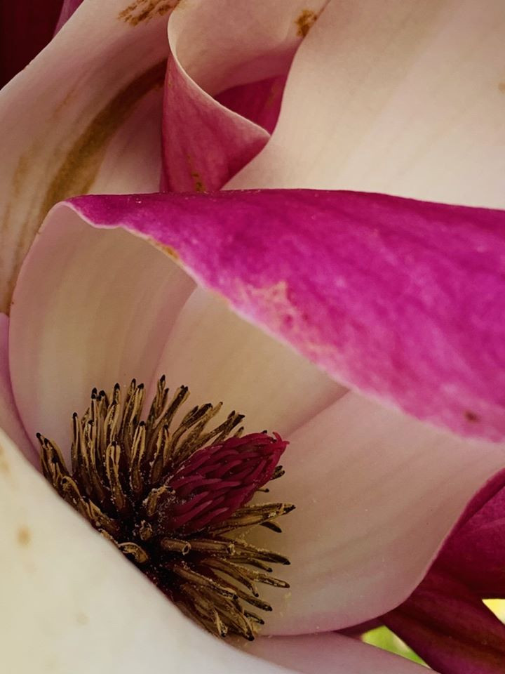 Monoecious Magnolia, simplest and one of the most primitive flower, Pistil (female) in the center higher than the stamen (male).