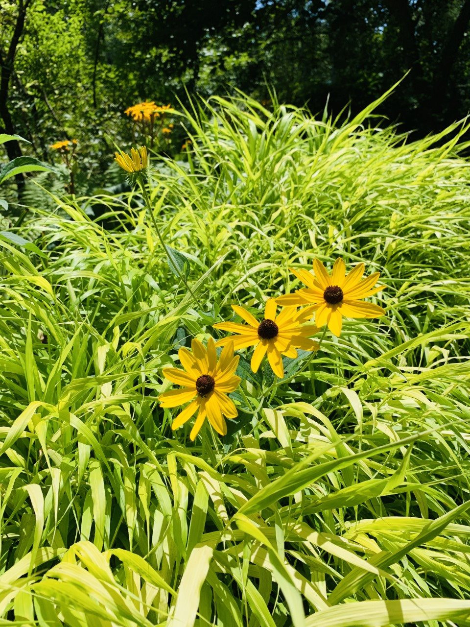 Lemon Lime wonders in the woodland gardens sun pocket: Hakonechloa grass (lime green) with Black-eyed Susan flowers planted in a border.