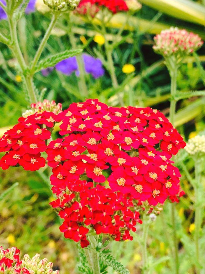 Yarrow, Achillea millefolium 'Paprika'