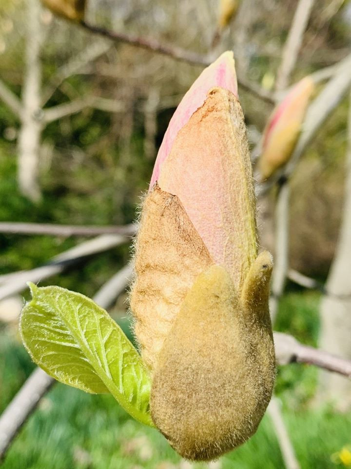 Young Magnolia bud with a new leaf (most Magnolias don't send out leaves, till the plant is done flowering)