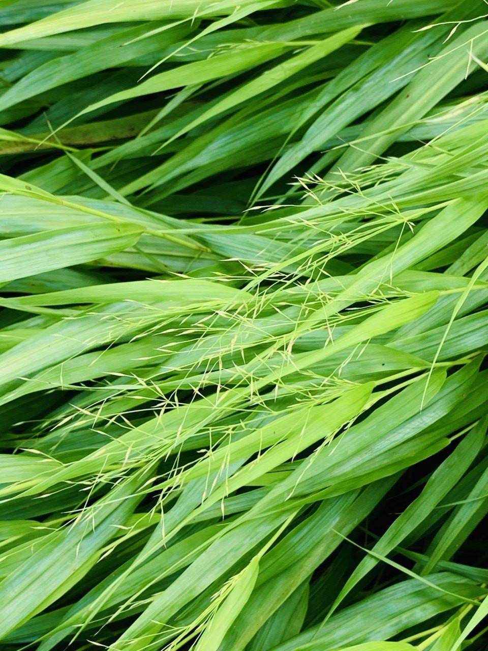 Linear long leaves of Hakonechola grass