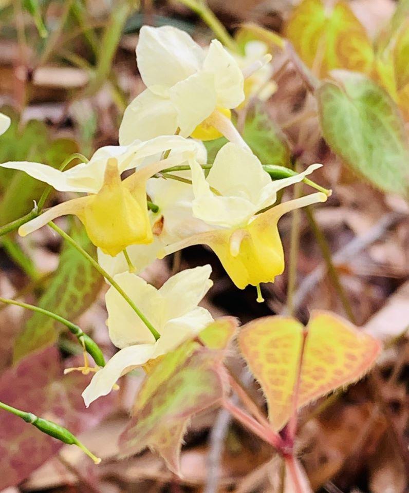 Barrenwort 'Epimedium sps. (White and yellow flowers)