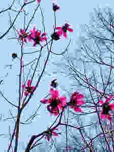 Magnolia sprengeri 'Eric Savill'