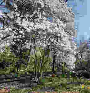 Spring walk Magnolias