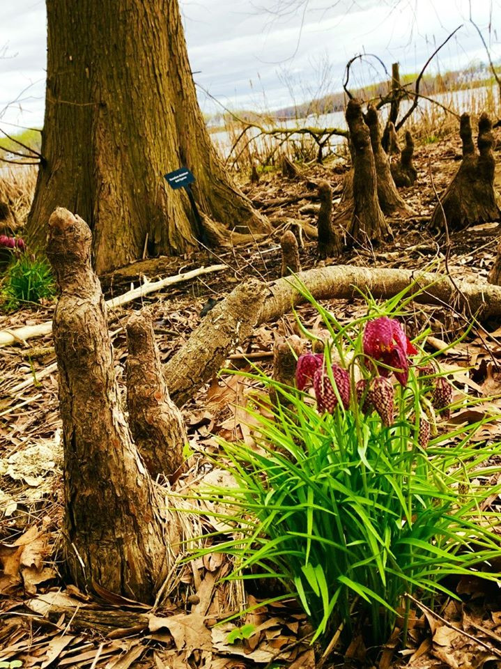'Snake's head', Fritillaria meleagris by Bald Cypress tree
