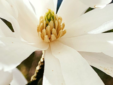 Botanist's Lens: Magnolia Canopies in the Sky
