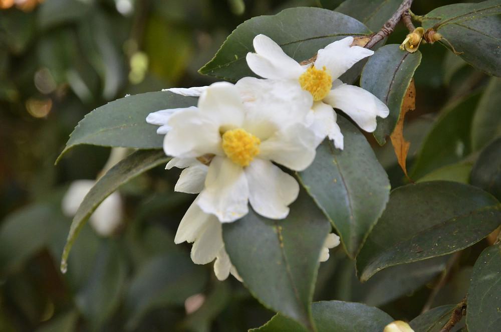 Camellia oleifera 'Lu Shan Snow' (Picture courtesy, Dinny White)