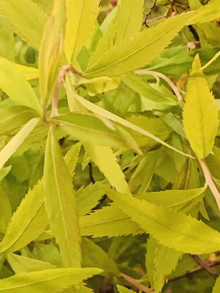 Spiraea thunbergii 'Mellow Yellow'