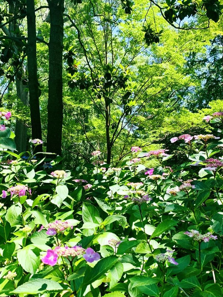 Hydrangeas in the woodland garden