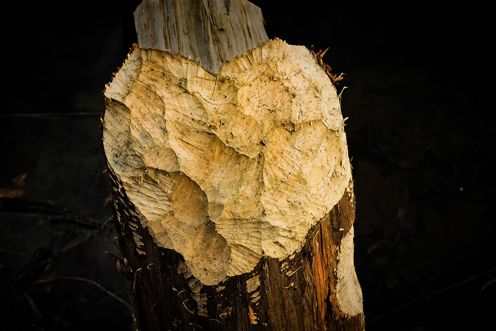 Tree cut by beaver teeth. The cut is in the shape of a heart.