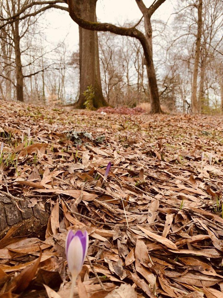 Crocus in the woodland gardens