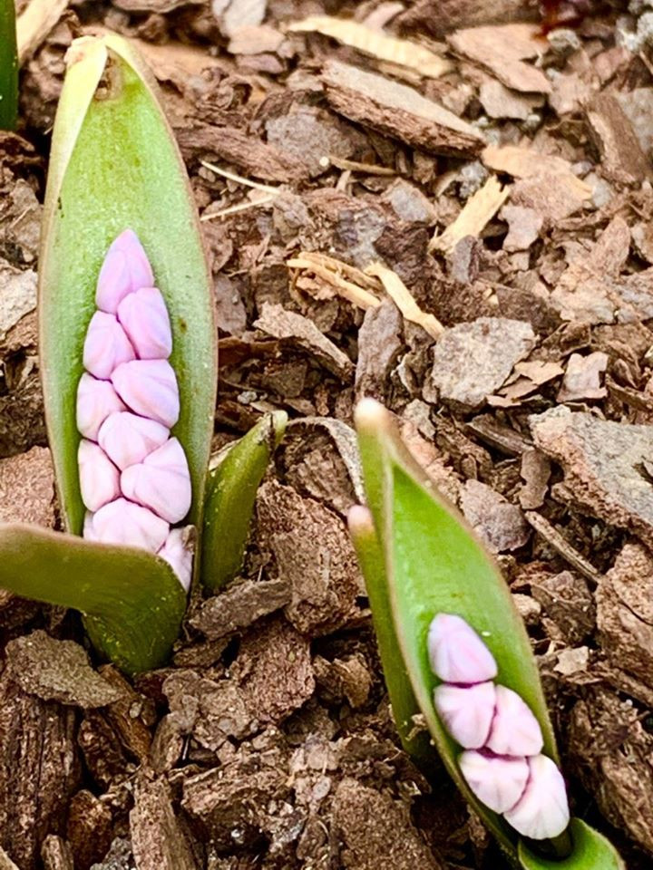 Scilla bifolia ' Rosea' with twin leaves and buds