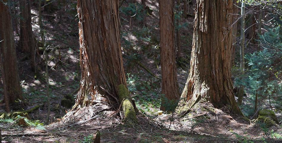 木曽桧備林ー伊勢神宮の御用材となる木は樹齢300年以上