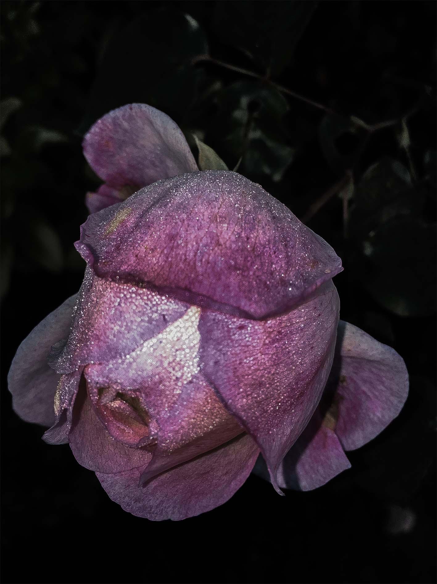 pink magic rose01