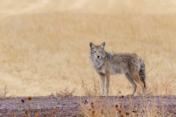 Image result for coyote spirit animal