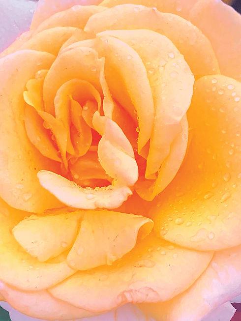 Peony White Rose copy_3x4.jpg