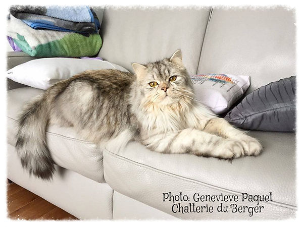 selkirk rex straight , chat mouton , selkirk rex , beaux chats