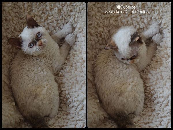 Chat mouton Selkirk rex