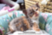 Chaton Selkirk Rex Kitten,chat mouton ,curly cat