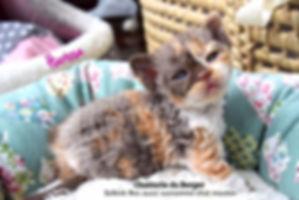 Chaton Selkirk Rex Kitten,chat mouton ,curly cat