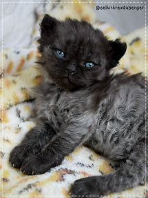 Chat mouton , Selkirk Rex , chaton à vendre