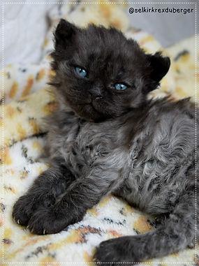 Chat mouton , Selkirk Rex , chaton à vendre