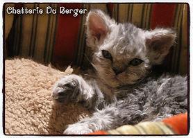 selkirk rex , chat mouton, chaton mouton , kitten , sheep cat