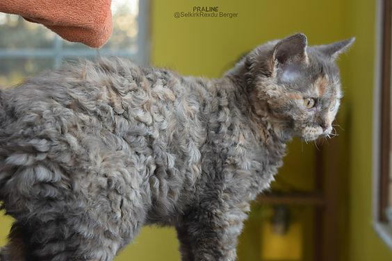 Selkirk rex chat mouton