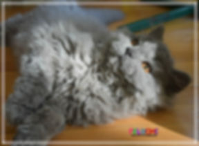 Chat Mouton , Selkirk Rex , best breeder selkirk rex