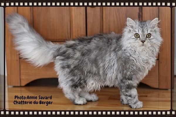selkirk rex, chat mouton , sheep cat