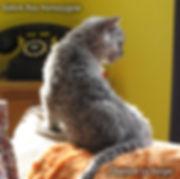 selkirk rex,  chat mouton