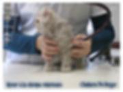 Selkirk Rex , chat mouton