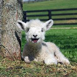 Le-bebe-mouton.jpg
