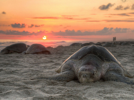Empty beaches are helping sea turtles, but for how long?