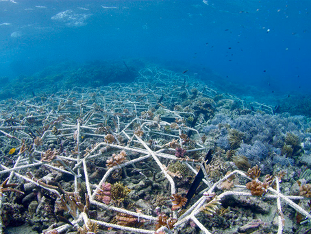 Stars In Our Seas - Coral Reforestation In Bali